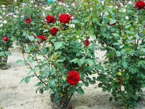 バラ園内のバラ01