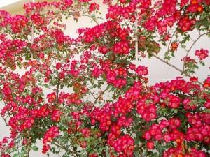バラ園内のバラ02